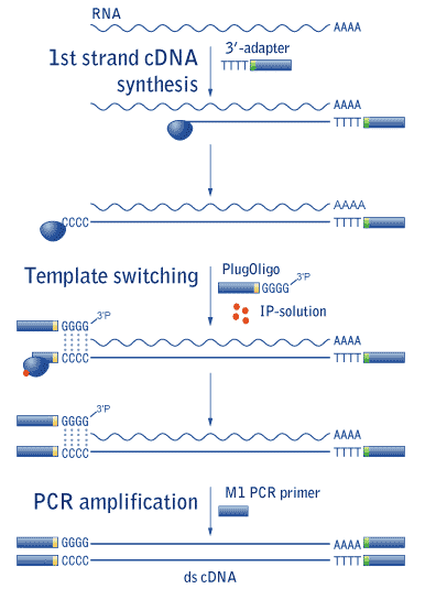 cdna sysnthesis 2-steps rt-pcr, cdna concentration and quality if i do cdna synthesis with superscriptiii using 2 mg of total rna in 20 ul reaction,.